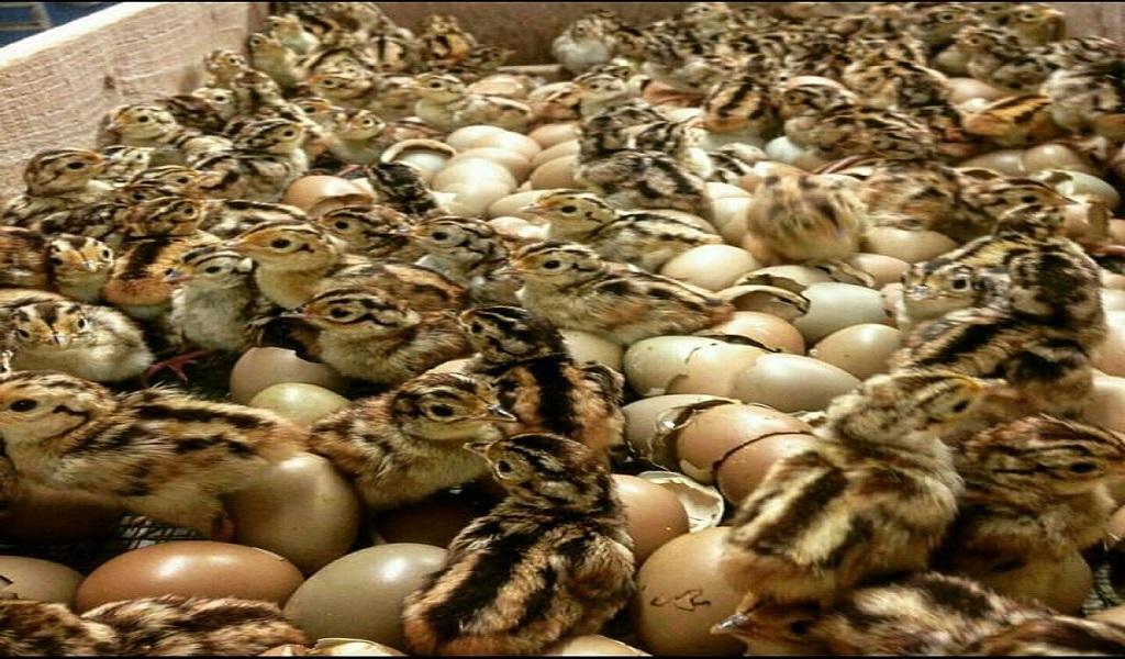 فروش تخم و جوجه قرقاول